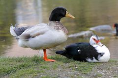 A mallard and a muscovy duck rest on the shore of the pond. Mallard and a muscovy duck rest on the shore of the pond Stock Photos
