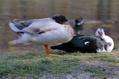 A mallard and a muscovy duck rest on the shore of the pond. Mallard and a muscovy duck rest on the shore of the pond Royalty Free Stock Image