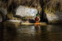 Mallard. My House, my river... where is my wife Royalty Free Stock Photos