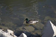 A mallard near the rocks. Of a river Royalty Free Stock Image