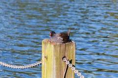 Mallard nel loro nido fotografia stock