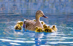 Mallard and newborn baby ducklings Royalty Free Stock Photos
