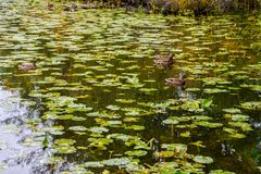 Mallard nurkuje na jeziorze zdjęcia royalty free