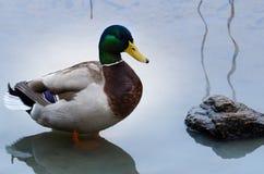 Mallard. One beutiful male mallard standing in the water Royalty Free Stock Photo