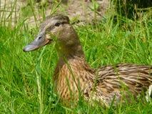 Mallard ou canard sauvage Images stock
