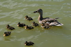 Mallard Outing 1. Mother mallard duck swimming with large clutch of ducklings Stock Images