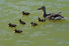 Mallard Outing 2. Mother mallard duck swimming with large clutch of ducklings Stock Photo