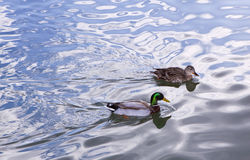 Mallard Pair Royalty Free Stock Photos