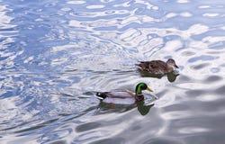 Mallard Pair. Male and Female Mallards on Silvery Lake Royalty Free Stock Photos