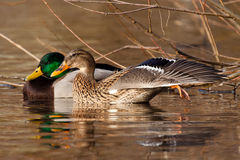 Mallard pair. Female stretching its wing and leg Stock Images