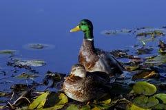 Mallard Pair. Male and female Mallard Ducks Stock Photo
