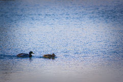 Mallard pair. A wild duck pair swim about in the winter sunshine Royalty Free Stock Photography