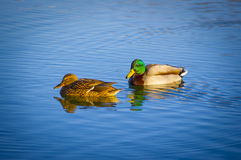 Mallard pair Royalty Free Stock Photography
