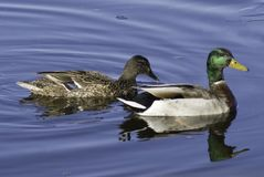 Mallard pair Stock Image