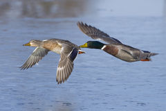 Mallard Pair. A pair of ducks flying low over the ice Royalty Free Stock Images