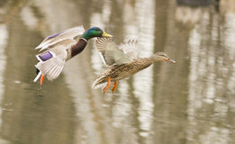 Mallard pair in flight Royalty Free Stock Photography
