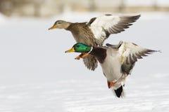 Mallard pair in flight Stock Photo