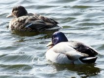 Mallard pair. Male and female mallard duck swimming on choppy water Stock Photos