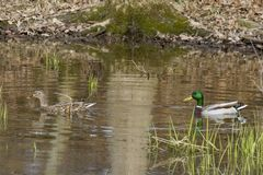 Mallard Pair at Sam Parr Lake in Newton, IL. This mallard pair are peacefully enjoying a warm day in March in IL as they swim in Sam Parr Lake . This is a Stock Images