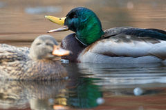 Mallard Pair quack. Pair of mallards smiling on a serene pond Stock Image