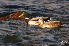 Mallard Pair Swimming. A pair of Mallards swimming on a rocky river in Colorado Royalty Free Stock Photos