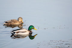 Mallard. A pair of mallard are swimming in water. Scientific name: Anas platyrhynchos Royalty Free Stock Images