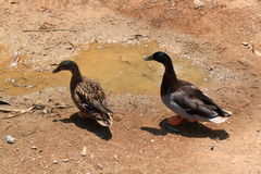 Mallard pair. Young pair of mallard ducks in the mud Stock Photo