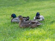 Mallard penche femelle et masculin dans l'herbe images libres de droits