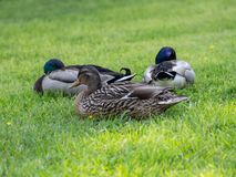 Mallard penche femelle et masculin dans l'herbe images stock