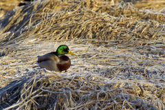 Mallard perched on brown grass. Stock Photo