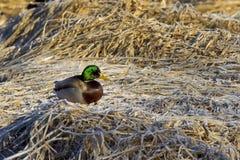 Mallard perched on brown grass. A male Mallard is perched on the frost covered brown grass Stock Photo