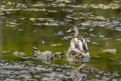 Mallard perched in Fernan Lake. Royalty Free Stock Photos