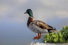 Mallard looking out over back creek. Mallard perched on planter on the dock Royalty Free Stock Photo