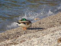 Mallard. In the photo is a male of mallard Stock Image