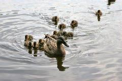 Mallard podążać małymi dzikich kaczek dziećmi Obraz Royalty Free