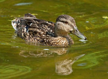Mallard on pond. Female of mallard swimming on pond Royalty Free Stock Images