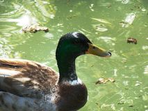 Mallard in pond stock photography