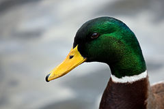Mallard, a portrait. In the wild Royalty Free Stock Image