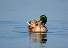 Mallard  preening Stock Photos