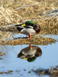 Mallard preens itself. A male Mallard is perched on a dirt clump and casts a relection in the water Stock Photos