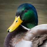 Mallard Royalty Free Stock Image