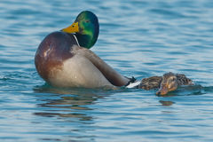 Mallard. Proud male Mallard shows off after mating with the female Stock Photos