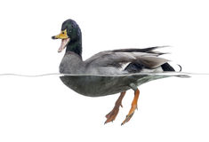 Mallard quacking, floating on the water, Royalty Free Stock Images