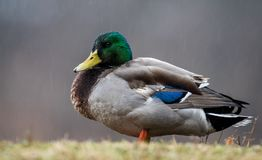 Mallard in the Rain. Mallard n the Rain in Pennsylvania Stock Image