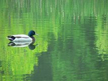 Mallard Reflection. Mallard duck resting on pond reflecting foliage Royalty Free Stock Images