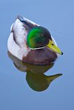 Mallard Reflection. A mallard and his reflection on calm, blue water stock images