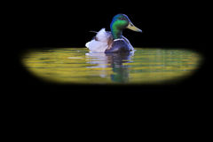 Mallard and reflection in water  on black. Wild bird in nature, hunting trophy hunting of ducks, birds in the park Royalty Free Stock Photo