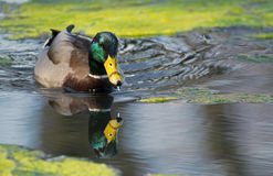 Mallard Duck Reflection in Water. Springtime reflection of mallard duck in the pond with green algae and water dripping from beak Royalty Free Stock Photo