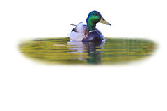 Mallard and reflection in water  on white. Wild bird in nature, hunting trophy hunting of ducks, birds in the park Stock Photos