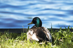 Mallard relaxing by the lake. A mallard duck laying down and relaxing in the grass, on a beautiful sunny day, looking out over a blue lake Royalty Free Stock Images